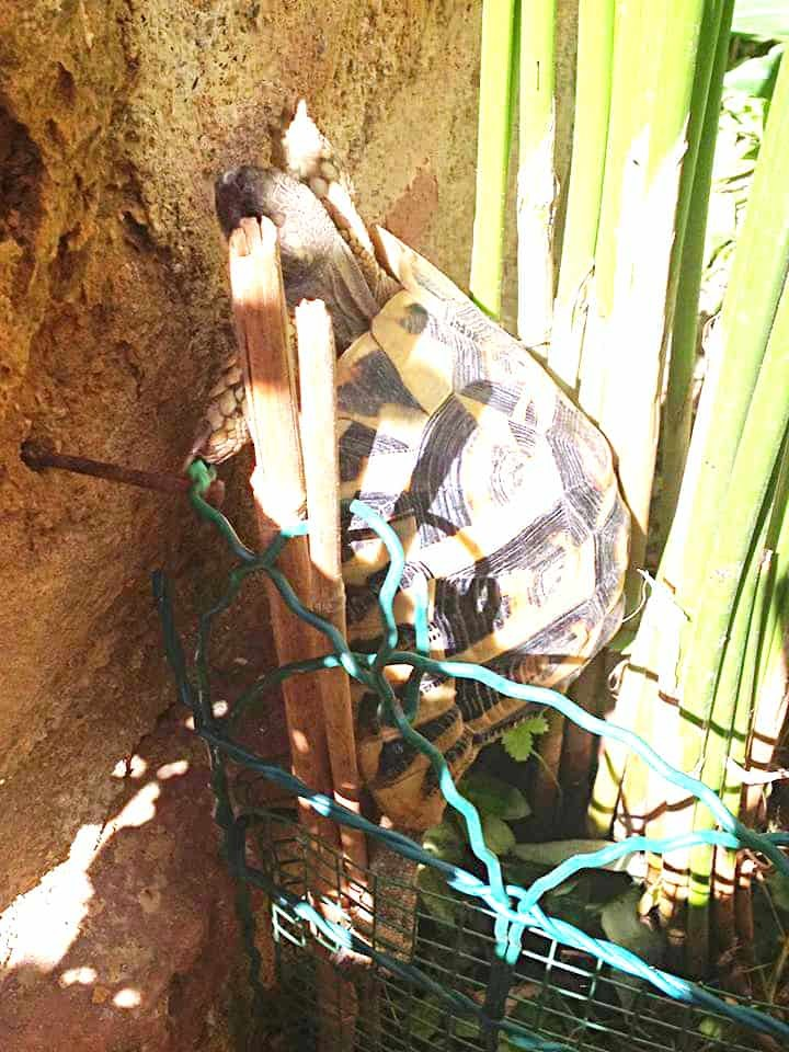Escape artist turtle