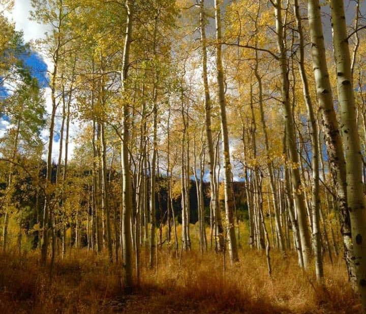 Aspen trees with yellow leaves.